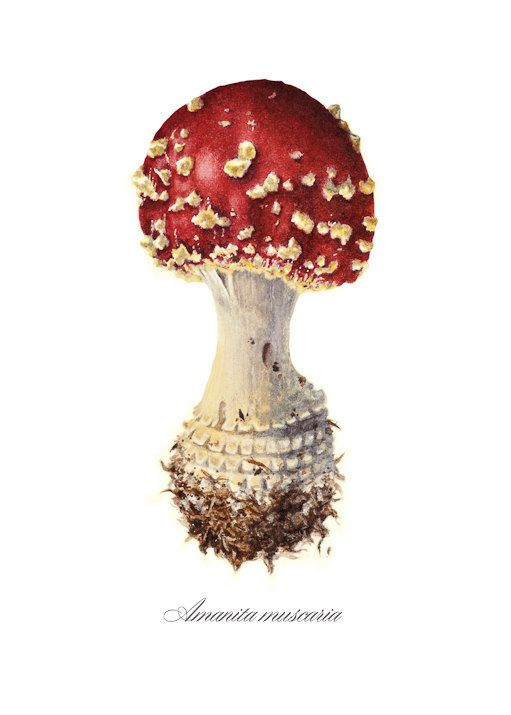 Drawn mushroom botanical Etsy Illustration images on best
