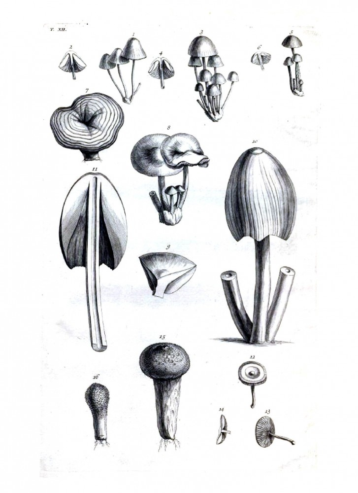 Drawn mushroom botanical And Black Mushrooms – Botanicon