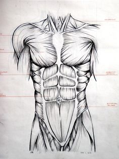 Drawn mussel abdominal Muscles on XCXC Drawing Abdominal
