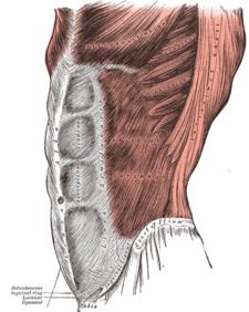 Drawn mussel abdominal Wikipedia Muscles[edit] Abdomen