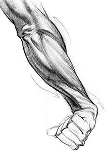 Drawn mussel forearm Forearms How Artists motion range