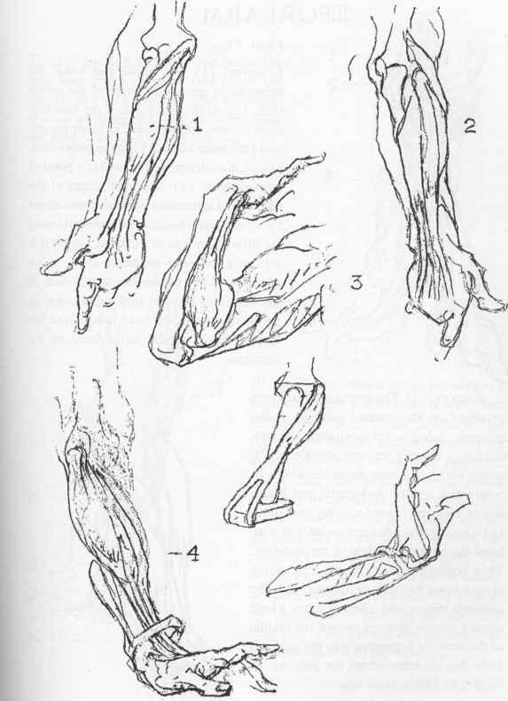 Drawn mussel forearm Joshua Forearm Forearm Muscles Deep