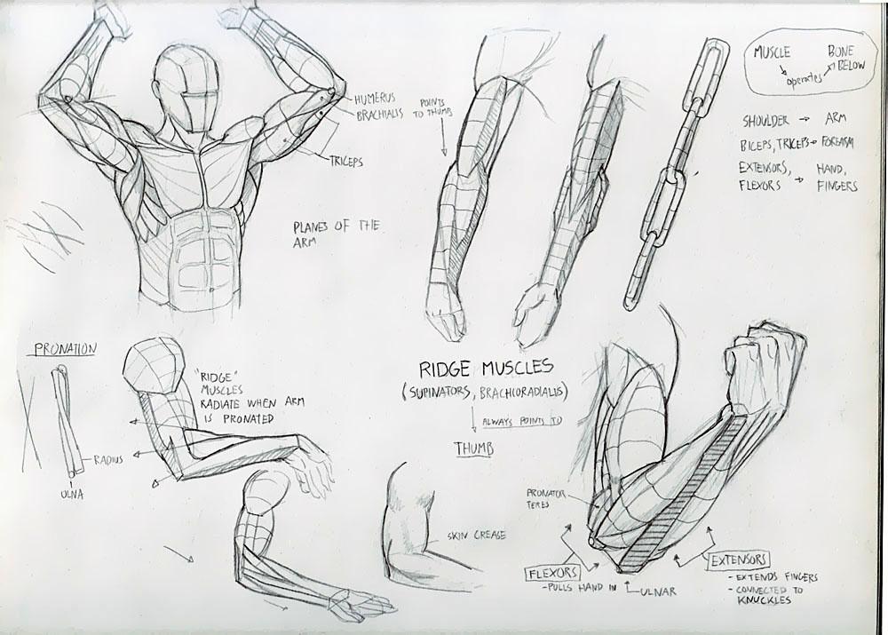 Drawn mussel forearm Illustration Concept Deiv Study Anatomy