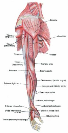Mussel clipart human arm Muscles Pinterest and Human body