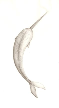 Drawn narwhal little Of Narwhal  Sketch Girl