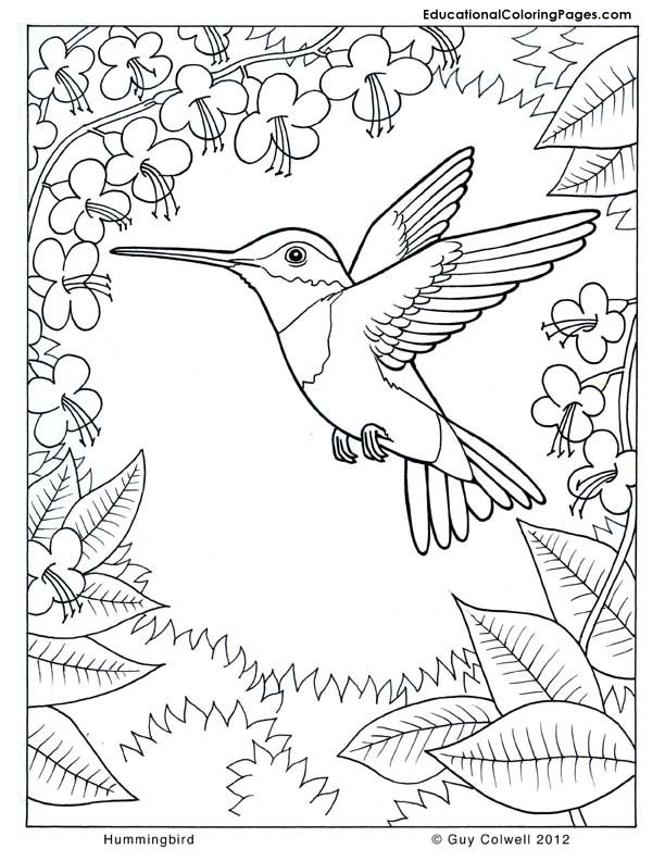Drawn brds coloring page Art Pages Humming Advanced Birds