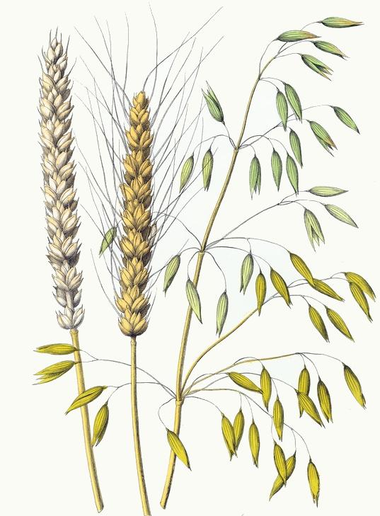 Drawn wheat & Wheat Oats Wheat Oats