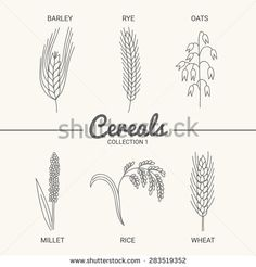 Hop clipart drawing Wheat wheat oat and barley