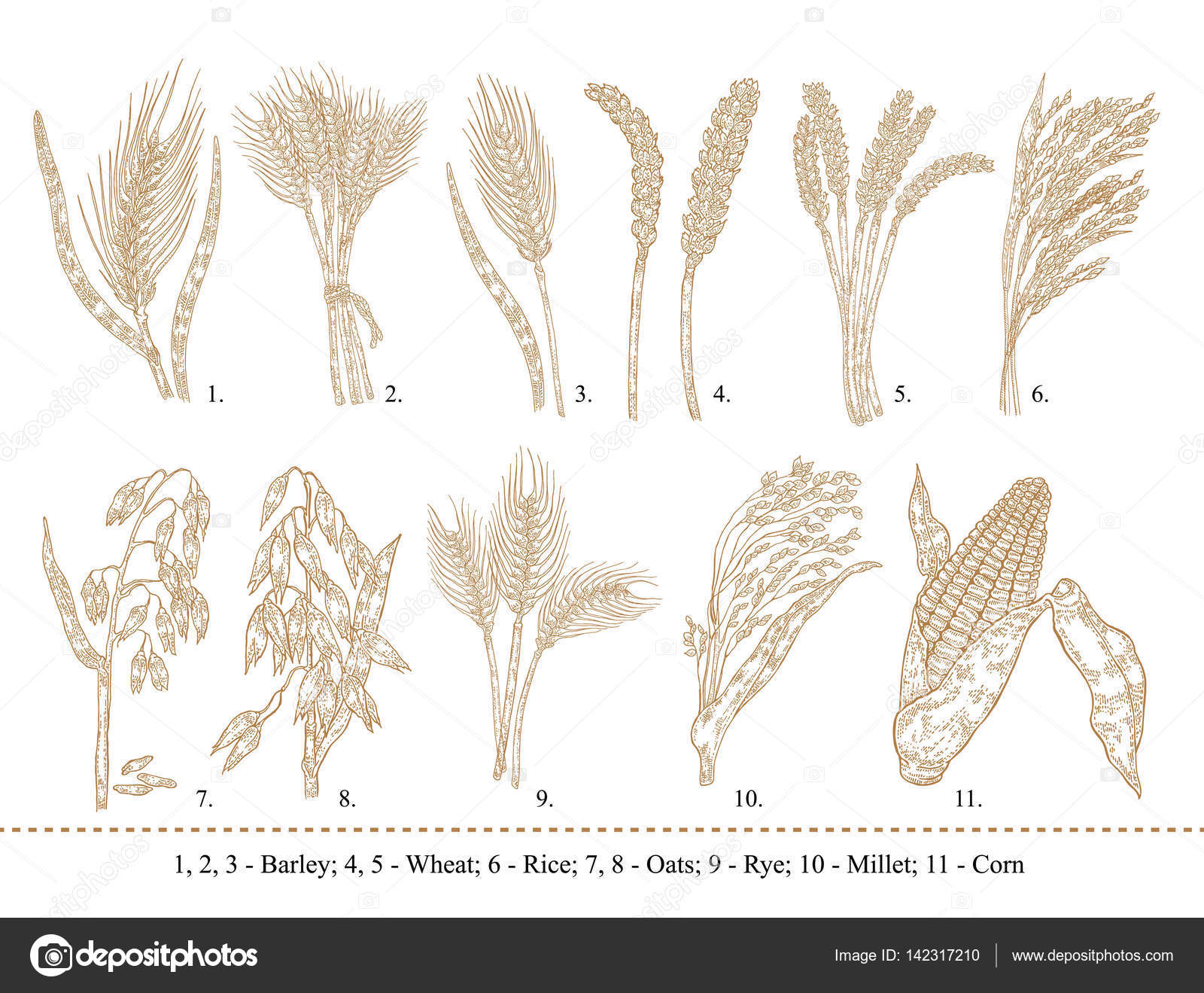 Drawn wheat Cereal oats — rice rye