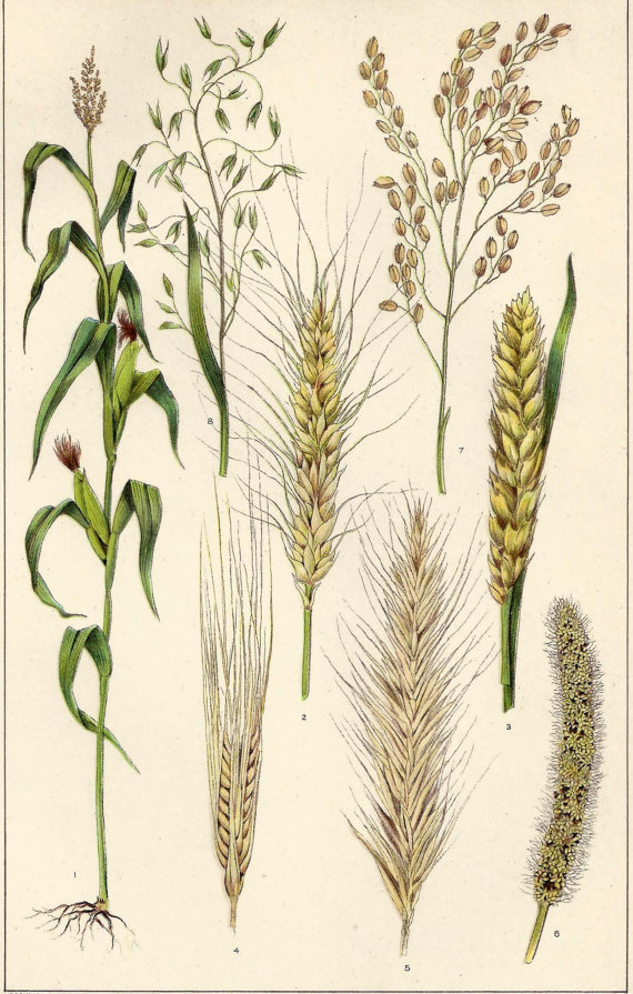 Drawn grain vintage Wheat 1909 Barley  Cereals