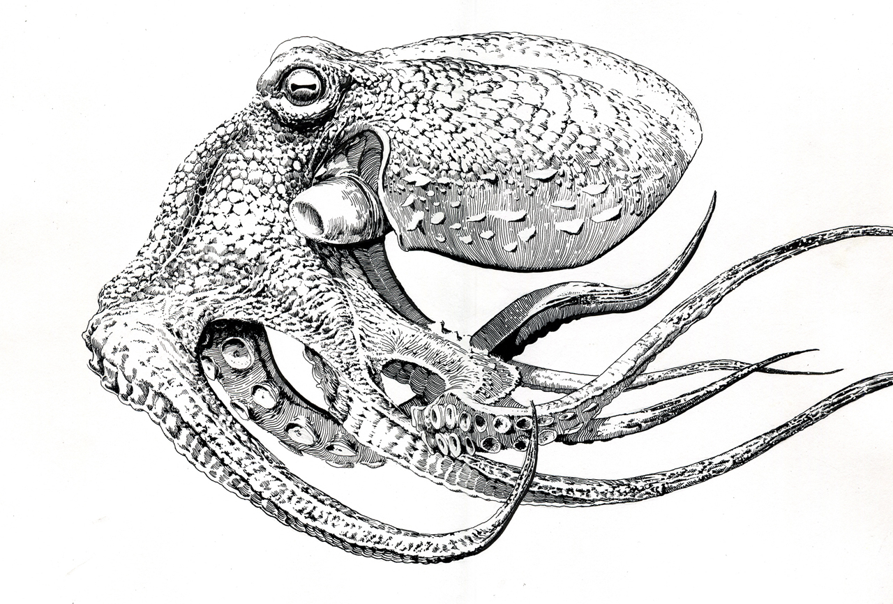 Drawn octopus Realistic Drawing Drawing Art Images