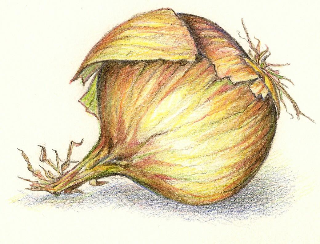 Drawn onion Color [ Onion Pencil Onion
