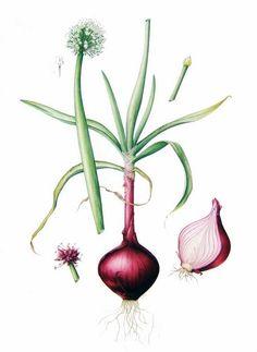 Drawn onion Moda Design Art Red and