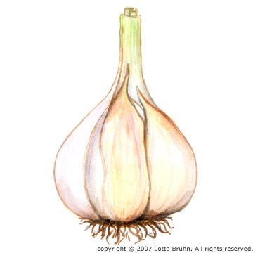 Drawn onion Illustration: Garlic – Lotta Bruhn