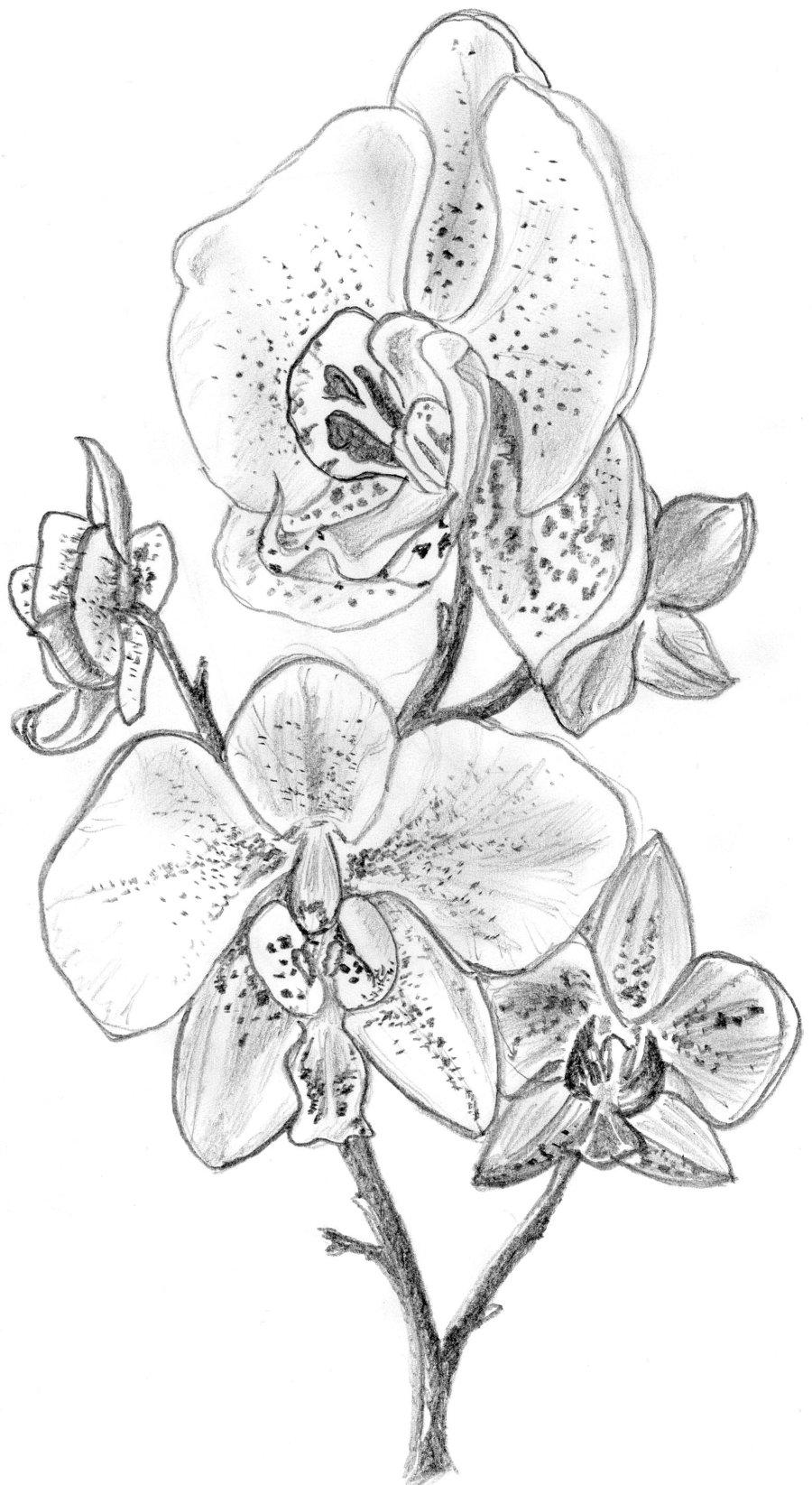 Drawn orchid Tattoo Zeroxy92 Orchid Pinterest