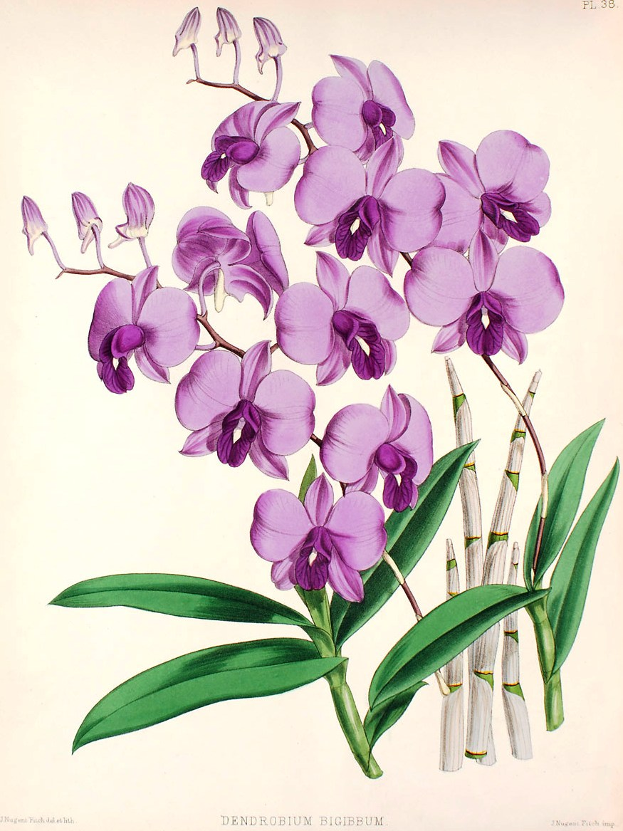 Drawn rose bush cooktown orchid Drawing Drawing Images Orchid gousicteco: