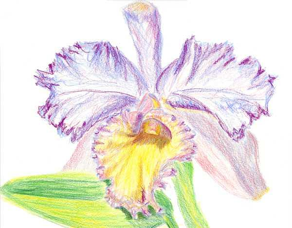 Drawn orchid colour pencil By Spikey Orchid Drawing by