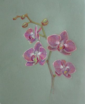 Drawn orchid colour pencil Drawing Floyd Orchids Elizabeth Orchids