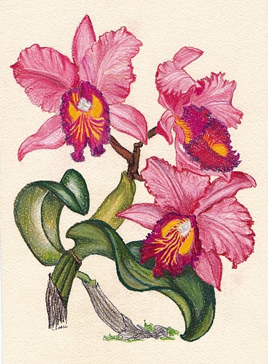 Drawn orchid colour pencil Some Coloured and with color
