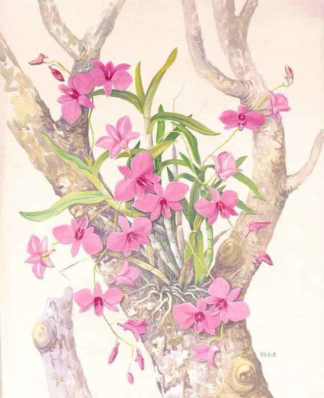 Drawn rose bush cooktown orchid Dendrobium or Scarth Cooktown Orchid