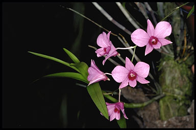 Drawn rose bush cooktown orchid 30) 19 Information the phalaenopis