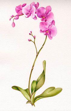 Drawn rose bush cooktown orchid Orchid jpg Zeroxy92 Rabbett Colour