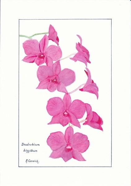 Drawn rose bush cooktown orchid Dendrobium (Cooktown inspiration biggibum biggibum