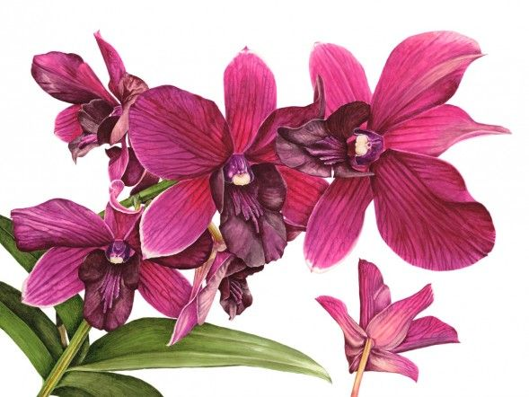 Drawn rose bush cooktown orchid Orchid print Orchids on Pinterest