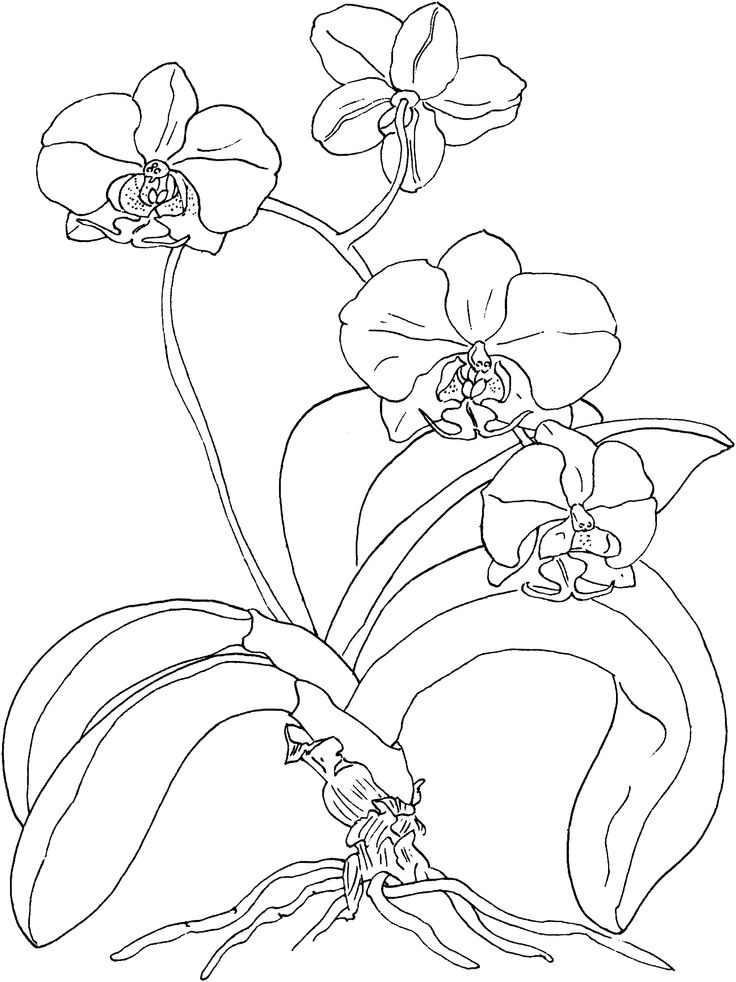 Orchid clipart sketch Outline Search 146 Google Flower