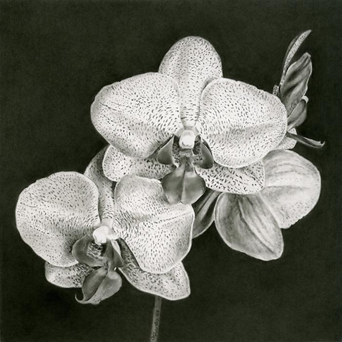 Drawn orchid pencil crayon · Gary 0708_Orchid5 Art jpg