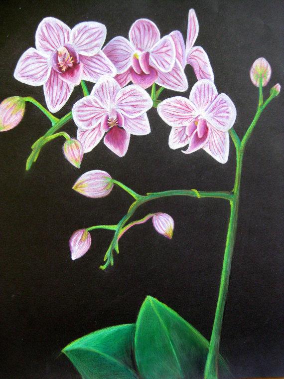 Drawn orchid pencil crayon COLORED Catherine Orquídeas Pinterest Bradly