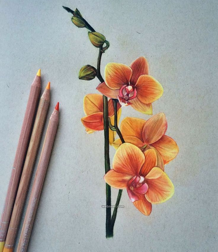 Drawn orchid pencil crayon Top Drawings the drawings world