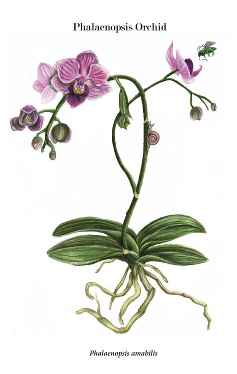Drawn rose bush cooktown orchid Scientific Phalaenopsis de Illustration Illustration