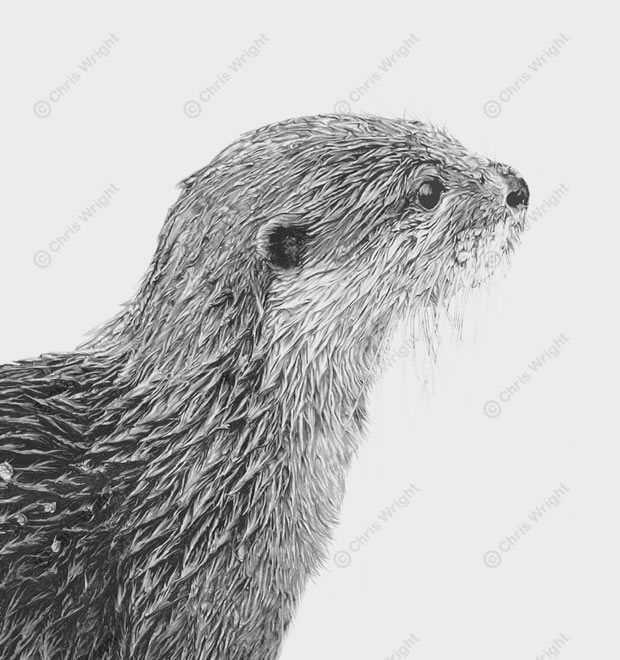 Drawn otter pencil drawing Drawing Otter Drawing Bankside otter