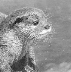 Drawn otter pencil drawing Drawings drawings of otters Search