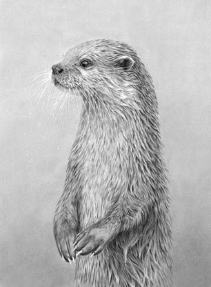 Drawn otter pencil drawing This DRAWING AND PAINTING on