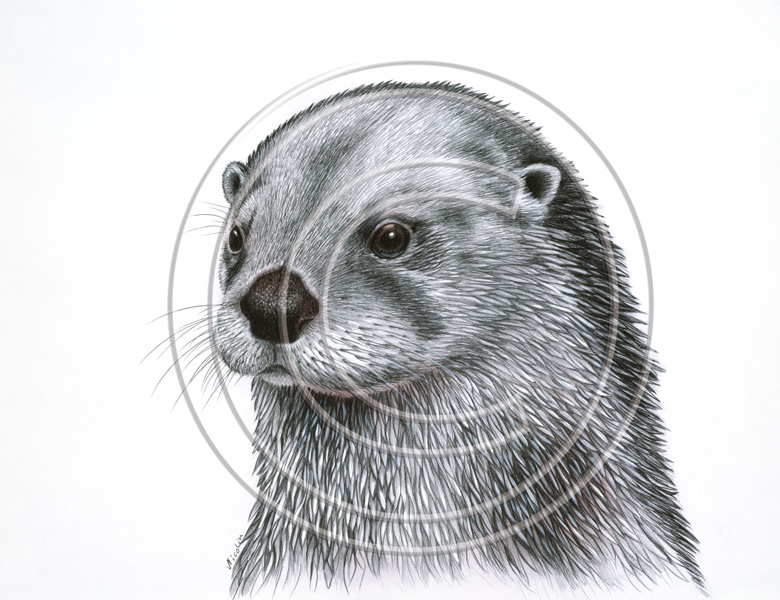 Drawn otter pencil drawing Seppo Art Decoration Nordic drawing