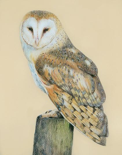 Drawn owl barn owl Barn Owl pencil drawing Magnificent