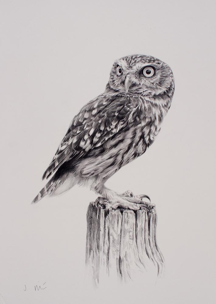Drawn owl little owl Cockerel Jonathan Natural drawing Sporting