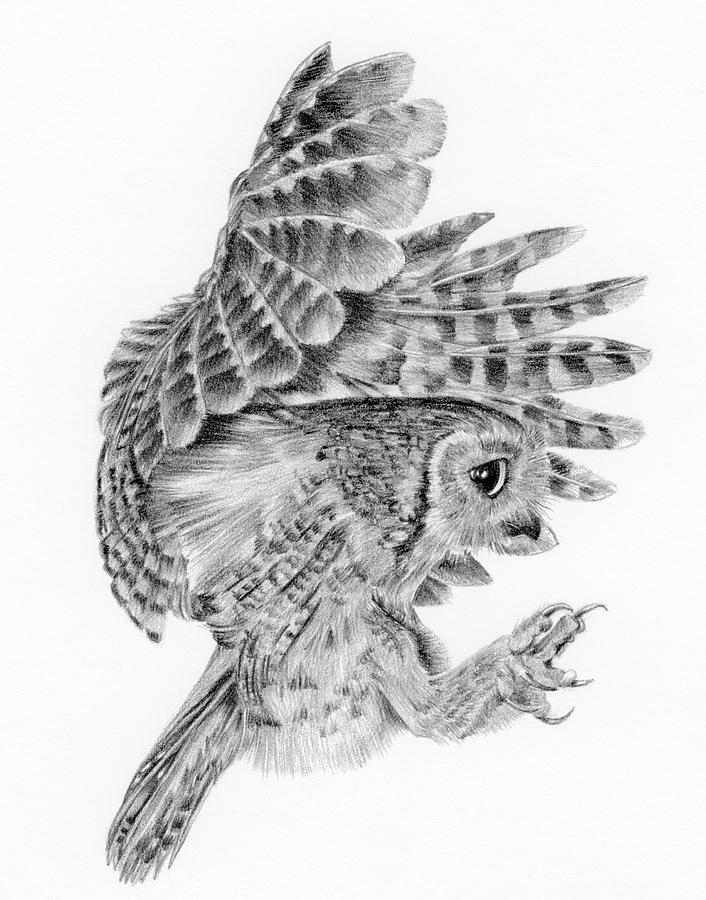 Drawn owl little owl Owl drawing photo#5 Little Owl