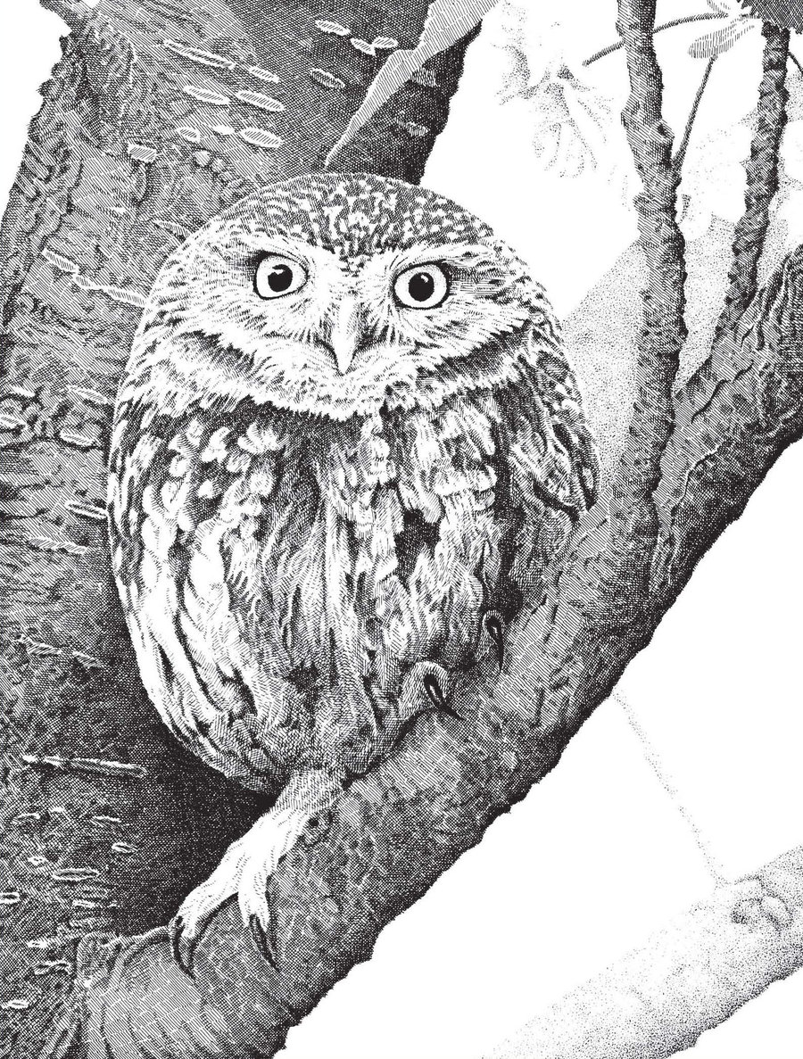 Drawn owl little owl Little Owl on Owl mk