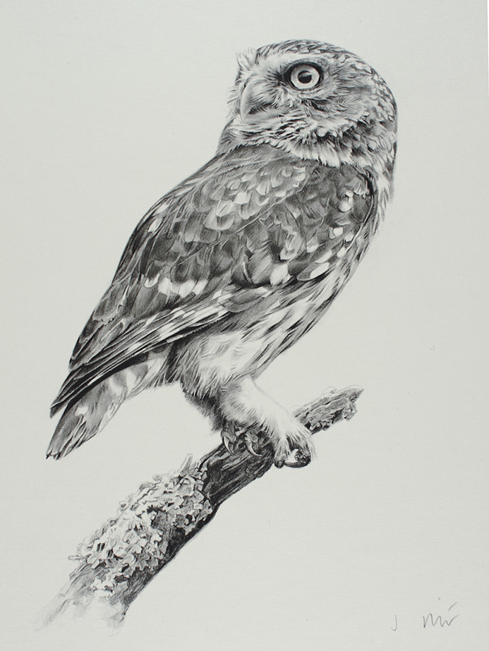 Drawn owl little owl Owl drawing photo#8 Little Owl
