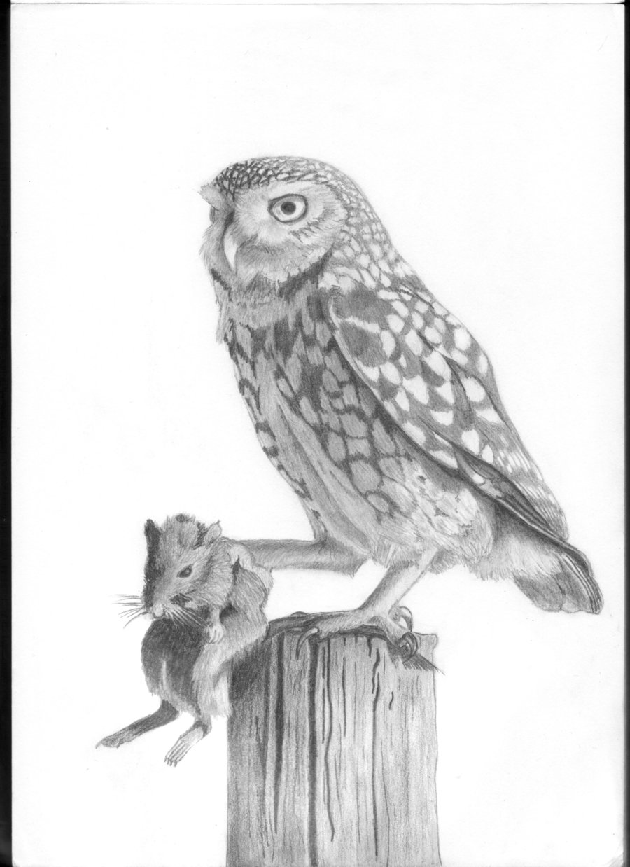 Drawn owl little owl Owl drawing photo#6 Little Owl