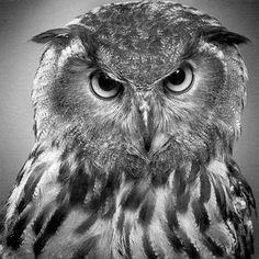 Drawn owl pastel Photorealist from JasminaSusak Pencil Drawing