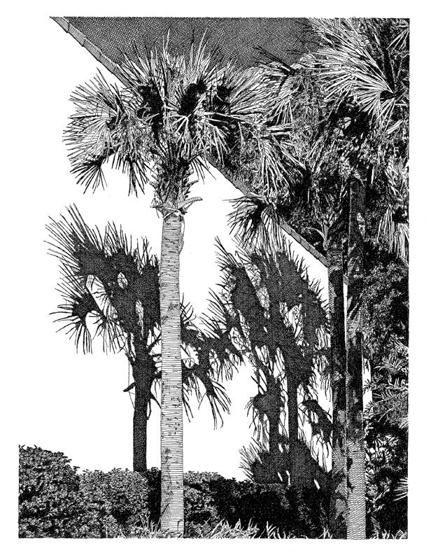 Drawn palm tree pen and ink #4