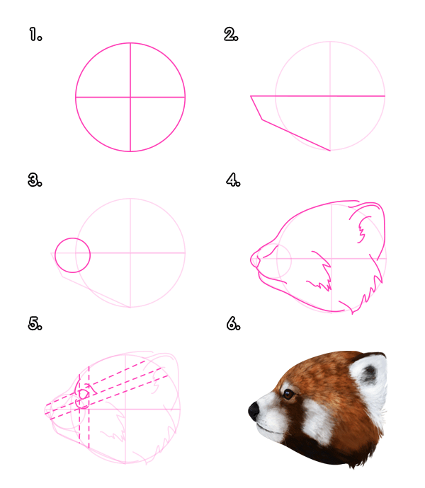 Drawn red panda step by step To How Raccoons Head Pandas