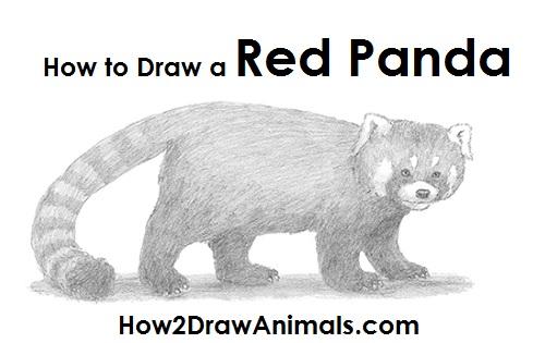 Drawn red panda koala Draw panda Panda Red red