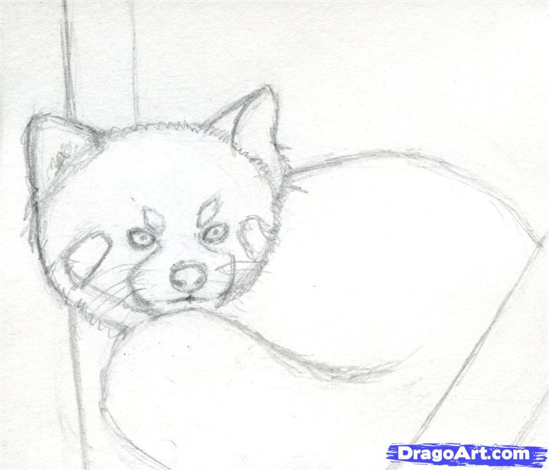 Drawn red panda step by step Draw Step forest to How