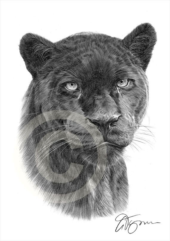 Drawn panther cat Panther signed only on images