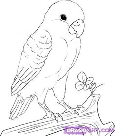 Drawn parakeet  ideas Drawings a to